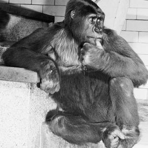 Gorilla by Sam Dunton