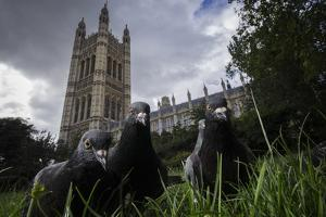 Feral Pigeons (Columba Livia) Outside the Houses of Parliament in Westminster. London, UK by Sam Hobson