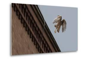 Northern Goshawk (Accipiter Gentilis), Juvenile Taking Flight from Building. Berlin, Germany. July by Sam Hobson