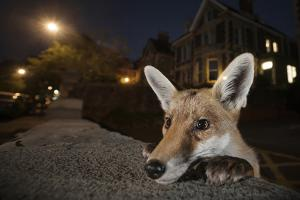 Young Urban Red Fox (Vulpes Vulpes) Poking its Head Up over a Wall. Bristol, UK, August by Sam Hobson