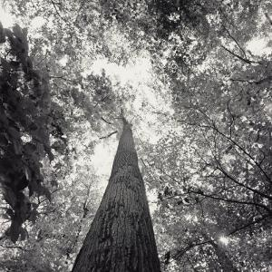 A Black and White View Looking up in the Interior of a Forest by Sam Kittner