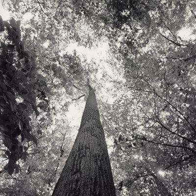 A Black and White View Looking up in the Interior of a Forest