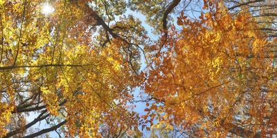 A tree canopy in the fall in Sligo Creek Park.