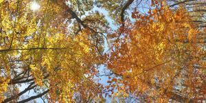 A tree canopy in the fall in Sligo Creek Park. by Sam Kittner