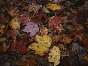Autumn Colors Overlap in a Pile of Fallen Leaves by Sam Kittner