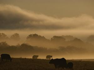 Cows are Silhouetted in a Field against Fog-Covered Trees at Dawn by Sam Kittner