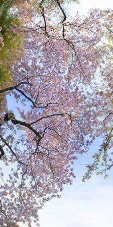 Sunlight on Cherry Blossoms.