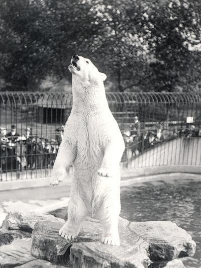 Sam the Polar Bear Begging for Food at Zsl London Zoo, 1912-Frederick William Bond-Photographic Print