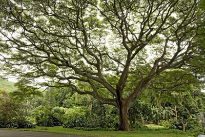 https://imgc.artprintimages.com/img/print/samanea-saman-tree-molokai-hawaii-usa_u-l-pn6t6e0.jpg?p=0