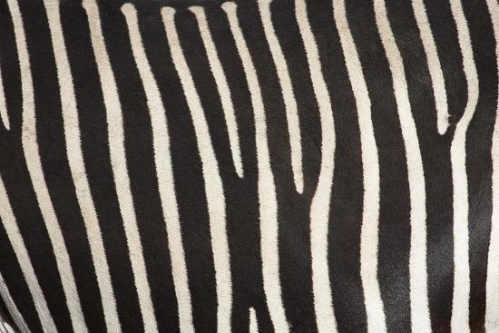 Samburu National Reserve, Kenya, East Africa; Close-Up of Grevy's Zebra Hide-Design Pics Inc-Photographic Print