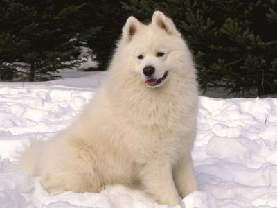 Samoyed Dog in Snow, USA-Lynn M^ Stone-Photographic Print