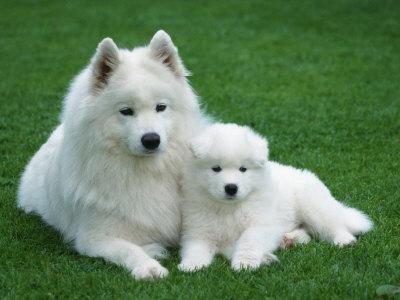 https://imgc.artprintimages.com/img/print/samoyed-with-6-weeks-old-puppy_u-l-q10o3jl0.jpg?p=0