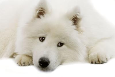 Samoyed--Photographic Print