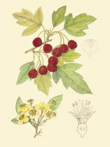 Berries and Blossoms III by Samuel Curtis
