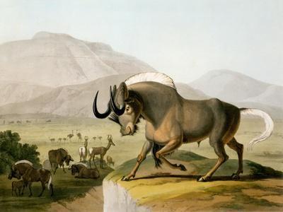 The Gnoo, 1804