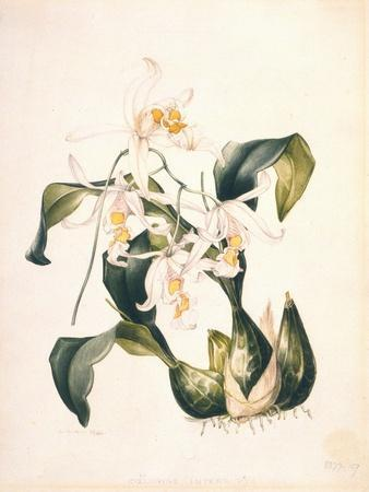 Botanical Watercolour: Orchid, Coelogyne Interrupta by Samuel Holden