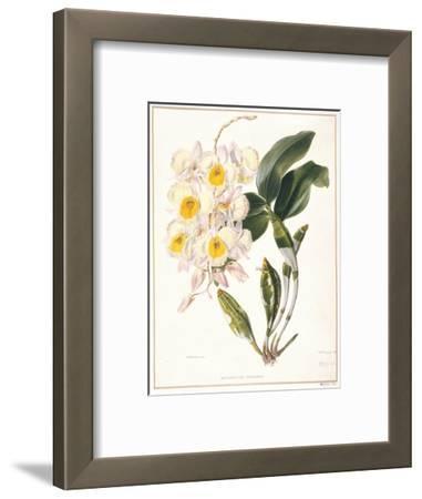 Botanical Watercolour: Orchid, Dendrobium Farmerii