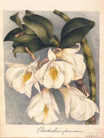 Botanical Watercolour: Orchid, Dendrobium Formosum