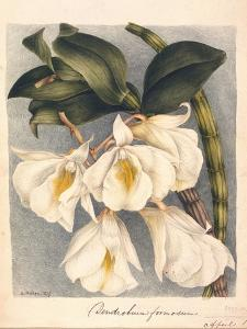 Botanical Watercolour: Orchid, Dendrobium Formosum by Samuel Holden