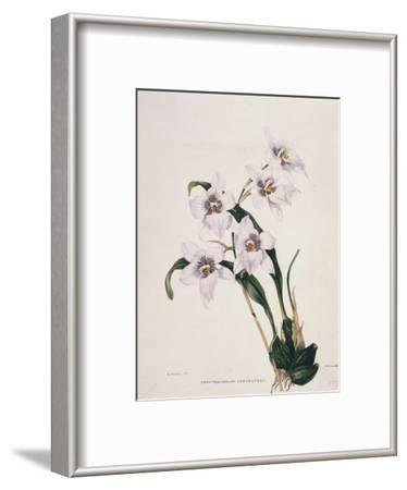 Botanical Watercolour: Orchid, Odontoglossum Cervantesii
