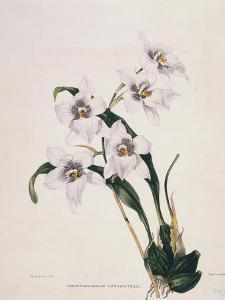 Botanical Watercolour: Orchid, Odontoglossum Cervantesii by Samuel Holden