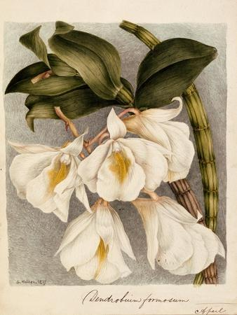 Dendrobium Formosum, C.1839
