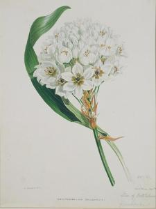 Ornithogalum Caudatum, the Star of Bethlehem by Samuel Holden