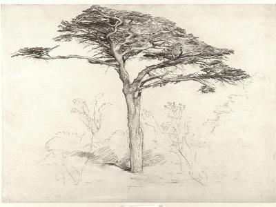 Old Cedar Tree in Botanic Garden, Chelsea, 1854 (Pencil on Paper)