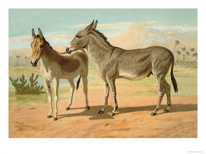 Abyssinian Male and Indian Onager Female by Samuel Sidney