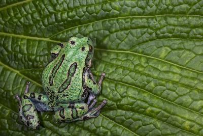 San Lucas Marsupial Frog, Andes, Ecuador-Pete Oxford-Photographic Print