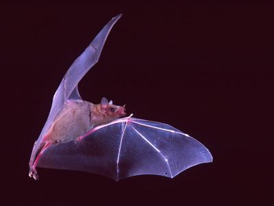 Sanborn's Long-nosed Bat, Arizona, USA-David Northcott-Photographic Print