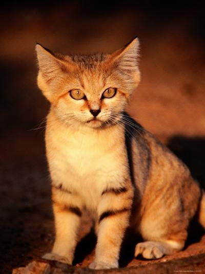 Sand Cat at the Breeding Centre for Endangered Arabian Wildlife-Mark Daffey-Photographic Print