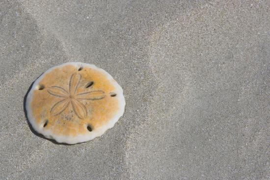 Sand Dollar-DLILLC-Photographic Print