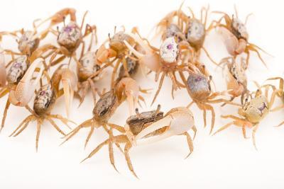 Sand Fiddler Crabs, Uca Pugilator, at Gulf Specimen Marine Lab and Aquarium.-Joel Sartore-Photographic Print