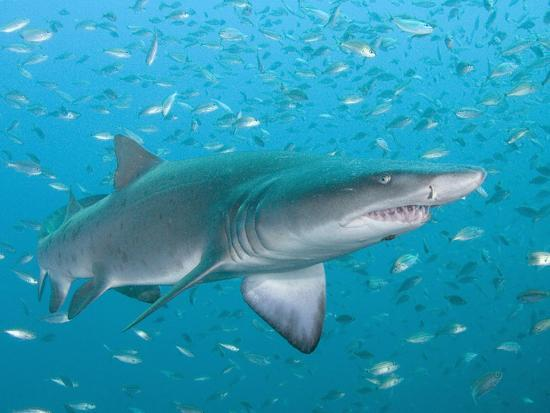 Sand Tiger or Gray Nurse Shark (Carcharias Taurus), North Carolina, USA, Atlantic Ocean-Andy Murch-Photographic Print