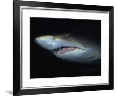 Sand Tiger Shark, Mouth, Australia-Gerard Soury-Framed Photographic Print