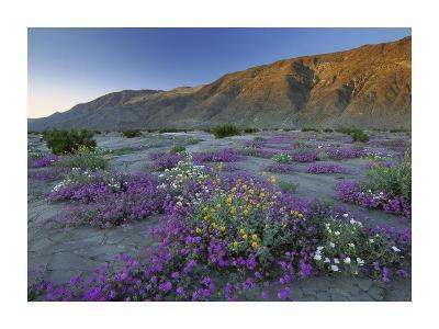 Sand Verbena and Desert Sunflowers Anza-Borrego Desert State Park, California-Tim Fitzharris-Art Print