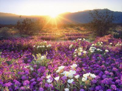 https://imgc.artprintimages.com/img/print/sand-verbena-and-dune-primrose-wildflowers-at-sunset-anza-borrego-desert-state-park-california_u-l-p25m4c0.jpg?p=0
