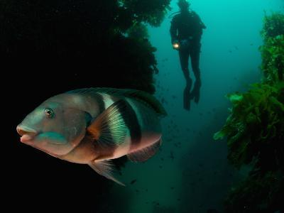 Sandagers Wrasse and Diver, New Zealand-Tobias Bernhard-Photographic Print