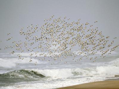 Sanderling (Calidris Alba) Flock in Flight over Ocean Waves, Long Island, New York, USA-Arthur Morris-Photographic Print