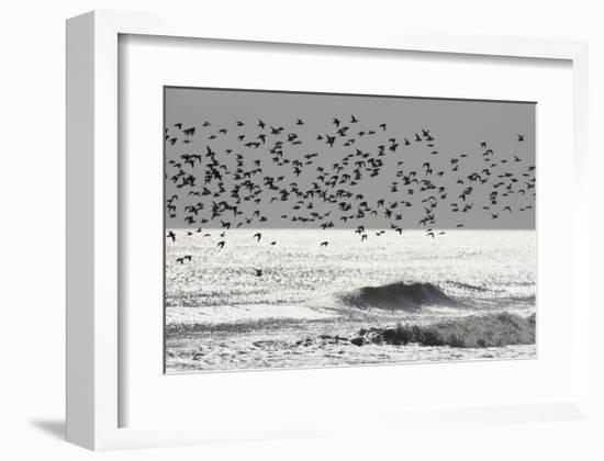 Sanderling (Calidris alba) flock, in flight, silhouetted over sea, New York-Mike Lane-Framed Art Print