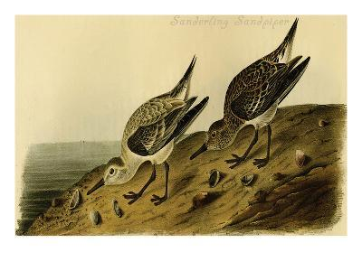 Sanderling Sandpiper-John James Audubon-Art Print