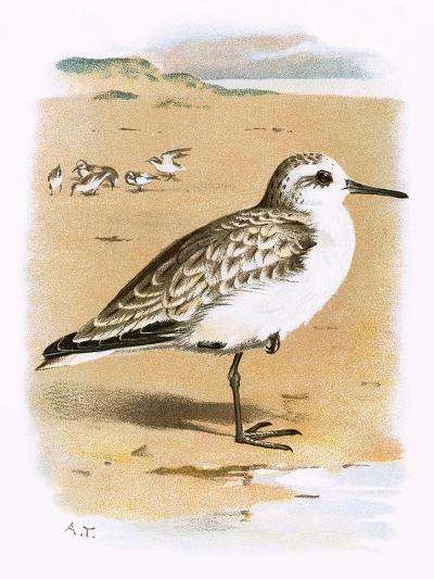 Sanderling-English-Giclee Print