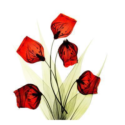 Sandersonia Bunch in Red-Albert Koetsier-Art Print