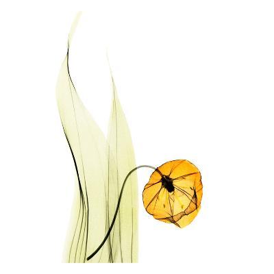 Sandersonia in Gold-Albert Koetsier-Art Print