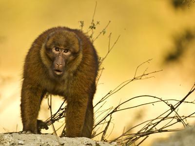 Arunachal Macaque (Macaca Munzala) Tawang, Arunachal Pradesh, India. Endangered Species