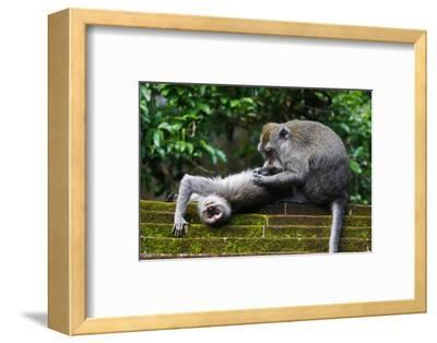 Crab-Eating Macaque (Macaca Fascicularis) Grooming. Bali, Indonesia