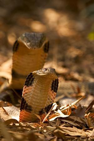 King Cobra (Ophiophagus Hannah) Male And Female Courtship, Agumbe, Karnatka, India, Captive