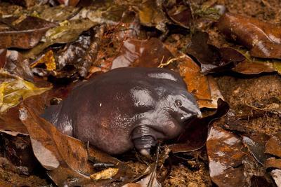 Pig-Nosed Frog (Nasikabatrachus Sahyadrensis) In Leaf Litter, Western Ghats, India