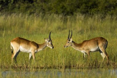 Southern lechwe, two males, Okavango Delta, Botswana